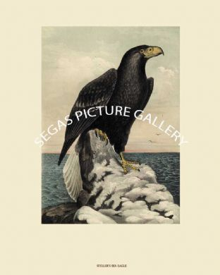 Eagle, Steller's Sea or Northern Sea Eagle by John Cassin